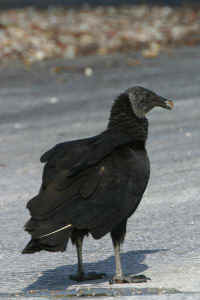 Black vulture picture gallery bird photography with digital cameras