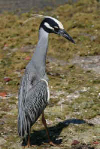 yellow-crowned-night-heron-back-ddwr.JPG (16396 bytes)
